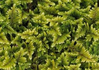 "Vertical Garden (NA3094)-Detail  : Moss, enlarged to the point where they look like small ferns. 69"" x 47.25"" repeat.© 2012 Doug Garrabrants"