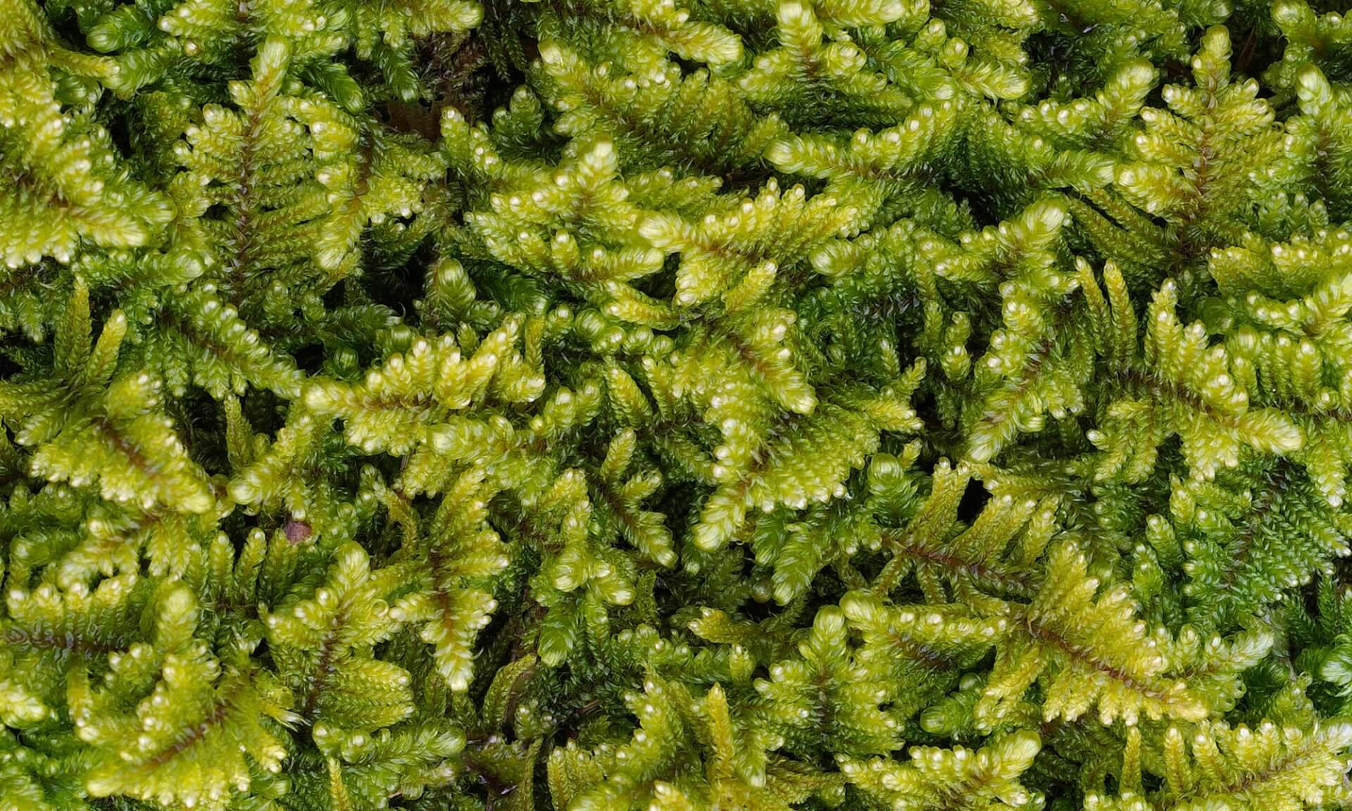 Vertical Garden or Moss-Ferns (NA3094)