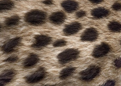 "Cheetah (NA0480)-Detail : Wallpaper pattern created from the fur of a cheetah. Up to 68"" repeat. © 2015 DOUG GARRABRANTS"