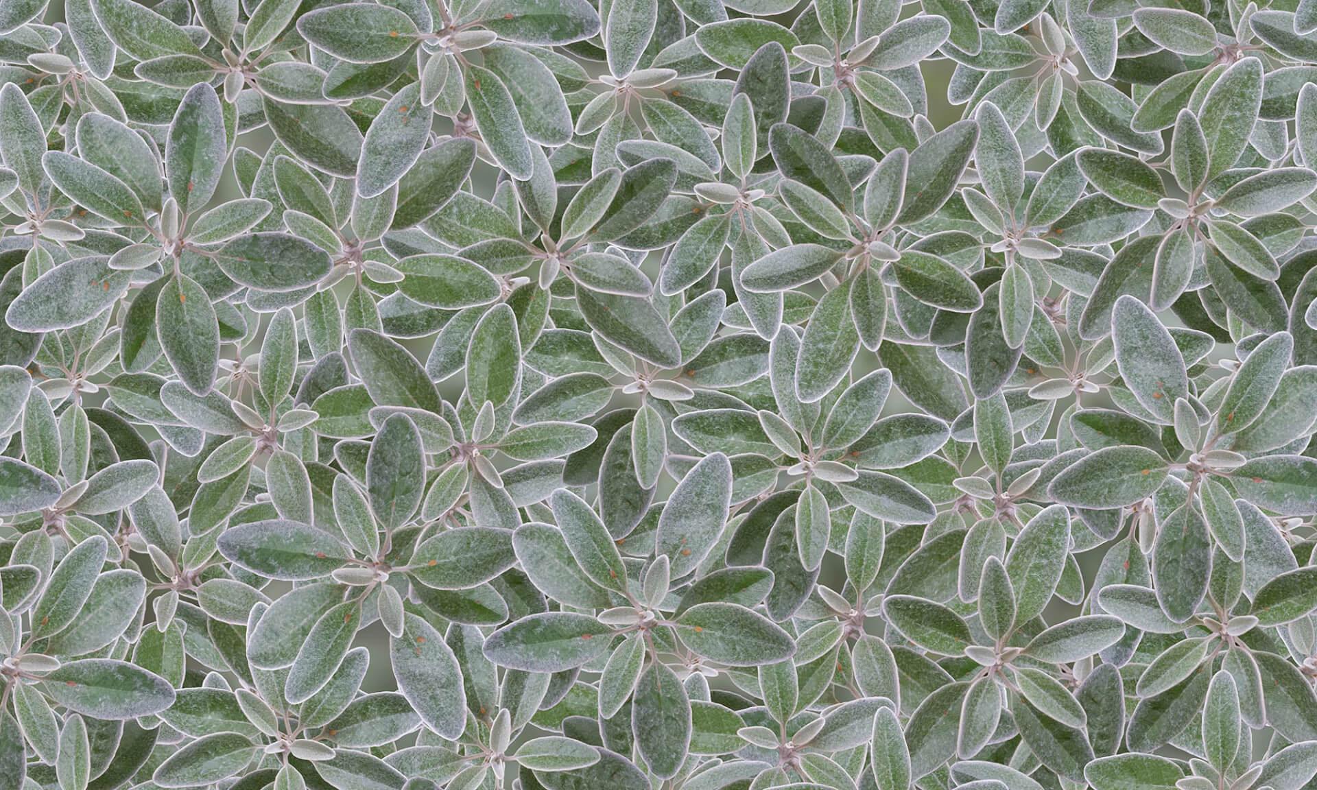 Sage (NA2236) Nature