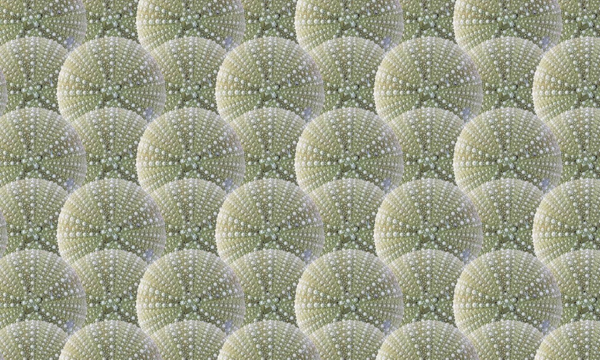 Sea Urchin-4 inch scallop Doug Garrabrants