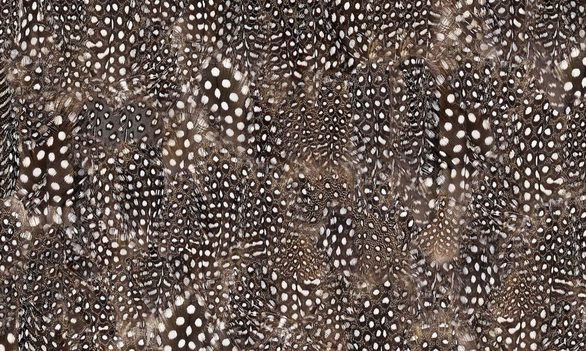Guinea Hen Feathers (NA6255)