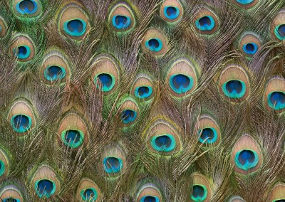 "Peacock Tail Feather (NA1984) : Wallpaper Pattern created from Peacock Tail Feathers. Repeat 44.6""w x 37.16""h. © Doug Garrabrants 2014"