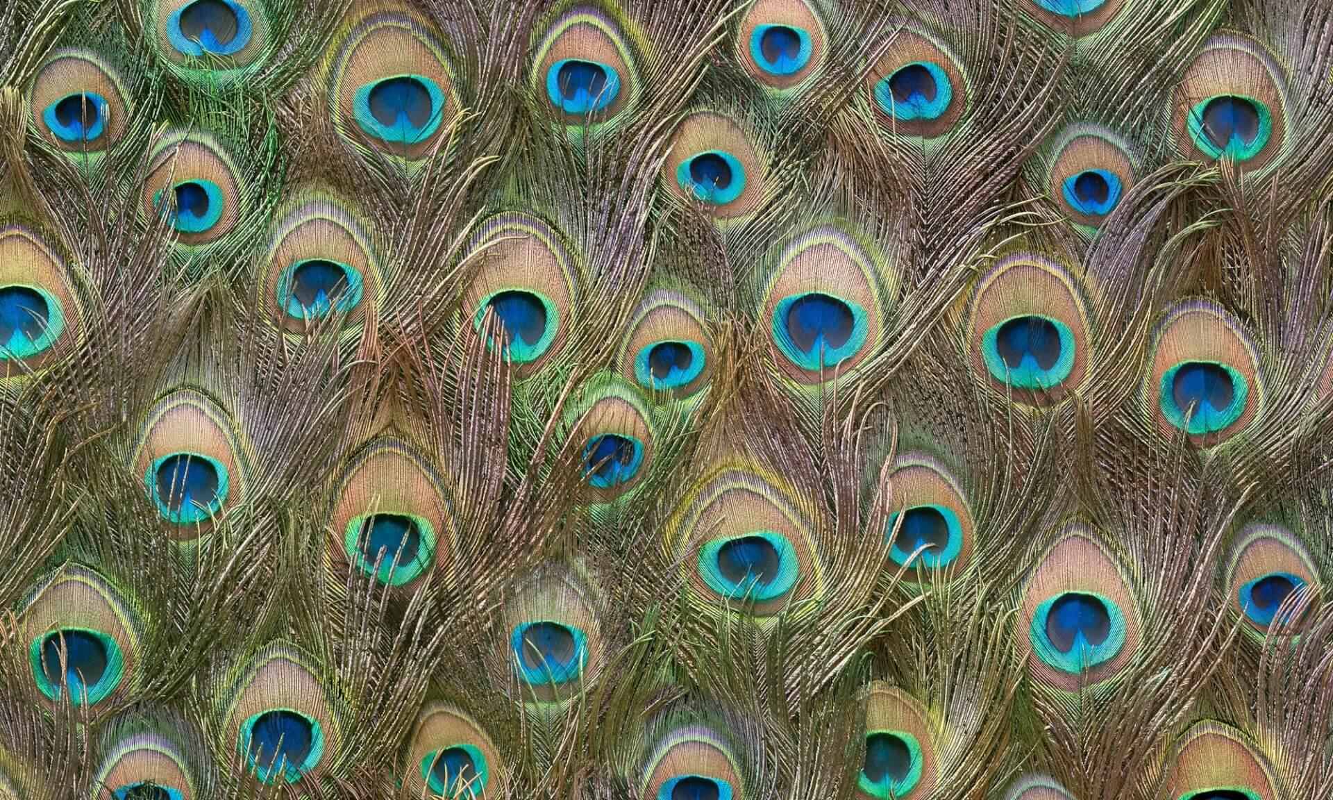 Peacock (DE1984) Doug Garrabrants-Zoë Design