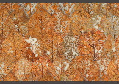 "Fall Leaves Layered (NA4124)-Detail : Pattern composed of the fine tracery of partally decomposed fall leaves. Repeat - 41""w x 24""h with 1/2 drop. © Doug Garrabrants 2013 [Fall;Leaves;Decomposed;Beech Froest;Wallpaper;Zoe Design] Pattern composed of the fine tracery of partally decomposed fall leaves. Repeat - 41""w x 24""h with 1/2 drop"