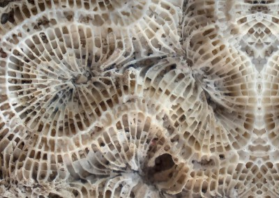 Coral (BA1037)-Detail : Wallpaper Pattern created from a photograph of a bit of dried up coral on a sandbar at Hogsty Reef located at 21°41′N 73°49′W. © 2014 Doug Garrabrants