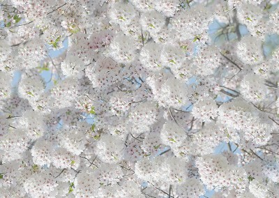 "Bradford Pear Blossom (NA4631)-Detail : Wall covering created from the blossoms of a Bradford Pear Tree. Repeat 18.5"" x 13.3"". 100% repro, 31"" repeat. © 2012 DOUG GARRABRANTS"