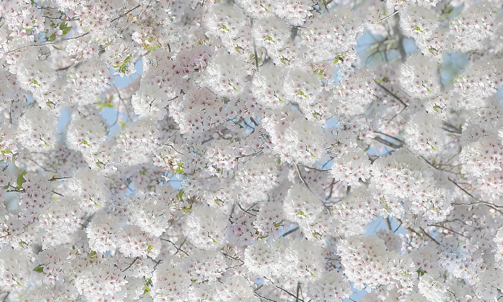 Bradford Pear Blossom NA4631 Doug Garrabrants