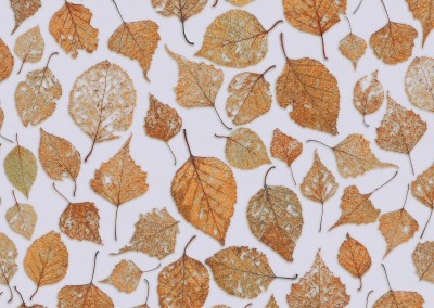 "Fall Leaves (NA4124)-Random-1 : Pattern composed of the fine tracery of partally decomposed fall leaves. Repeat - 41""w x 24""h with 1/2 drop. © Doug Garrabrants 2013"