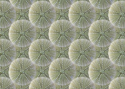 "Sea Urchin (NA6340-layered) :  Pattern with 4"" echinoids (Available up to 25"") from North Haven Island, ME. © Doug Garrabrants 2013"