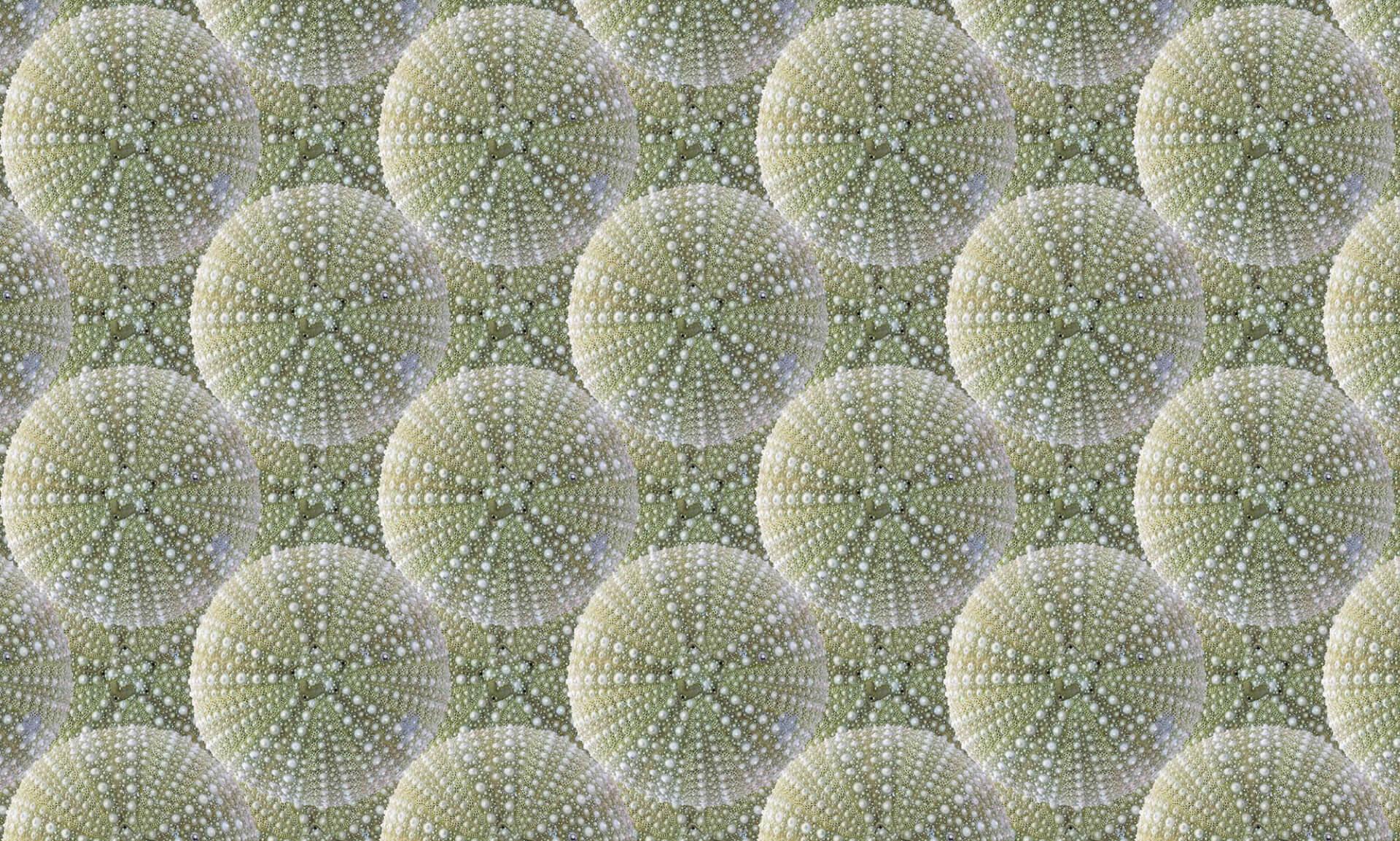 Sea Urchin-4 inch scales Doug Garrabrants