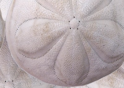"Sea Biscuit (NA1300-B)-Detail : Pattern created from Bahamian sea buscuits. Max. 13"" sea biscuit.© 2015 Doug Garrabrants"